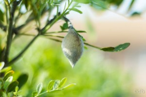 Mountain Laurel seed